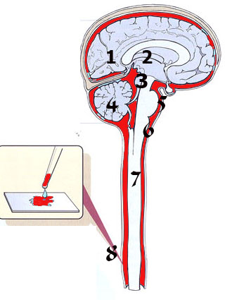anatomija coveka organi