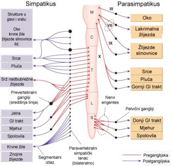 složenost vegetativnog živčanog sustava