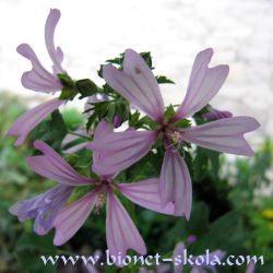 Herbatika-lekovito bilje  - Page 2 250px-Slez2