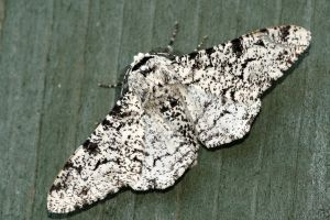 Peppered Moth - Biston betularia.JPG