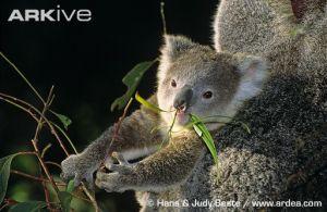 Koala — Bionet Škol...